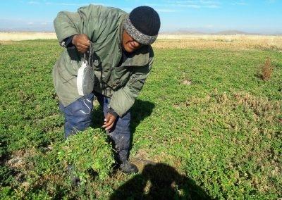 Pesado de alfalfa en el distrito de Huata