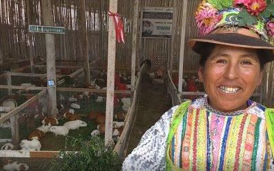 Incremento del ingreso neto de las familias productoras de cuyes – Torata, Moquegua / C-16- 30 (2017 al 2019)