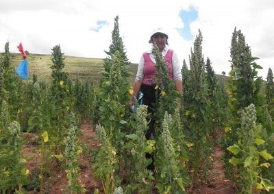 Cultivo de quinua