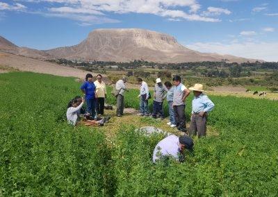 Evaluación de la calidad y rendimiento de forraje para cuyes, con la Asociación de Cero Baúl sector Yacango distrito de Torata.
