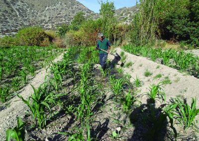 Beneficiario regando sus cultivos
